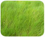 Sementes Brachi�ria  humid�cola - Caixa com 1,0 kg (72%VC)