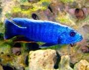Haplochromis Eletric Blue Ahli  6 a 7 cm
